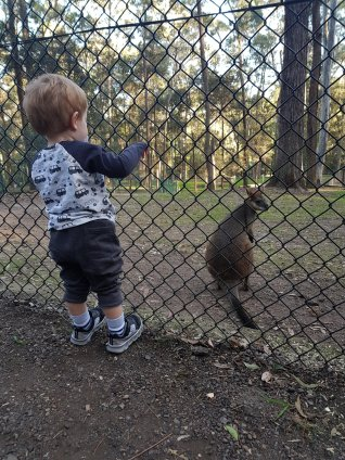 blackbutt wallaby